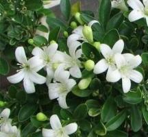 Восхитительные душистые цветки ( аромат жасмина)