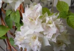 Укоренившийся саженец Бугенвиллия Bridal Bouquet