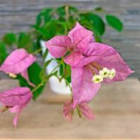 Бугенвиллия Golden Purple —  обильно цветущий  сорт